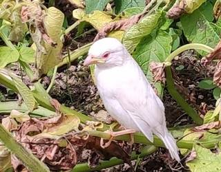 Txolarre albinoa agertu da Aranon; «gauza oso bitxia da gertatutakoa, aranoarrak txundituta gaude»